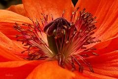 Poppy (SteveFromOhio) Tags: orange plant flower macro texture pistil poppy anythinggoes mondays macromondays