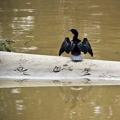 Little Black Cormorant (phillipdumoulin) Tags: bird water river fishing sand australia nsw cormorant resting sandbank parramatta dryingout phalacrocoraxsulcirostris littleblackcormorant wildbird parramattariver