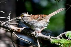 White-throated Sparrow, Cochrane Pond Road back fields. (frank.king2014) Tags: ca canada stjohns whitethroatedsparrow newfoundlandandlabrador