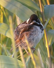 Male Reed Bunting in swaying reeds. (dugwin2) Tags: male reed bunting perched amongst swaying phragmites looking towards camera lower pennington hampshire
