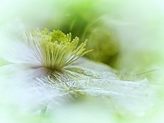 Soft Green.... (Hana's images) Tags: clematis d3100 hanasimages bokehwednsdays