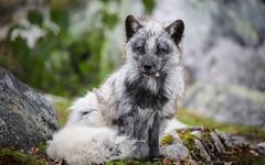 Posing blue fox (nemi1968) Tags: bluefox canon canon5dmarkiii ef100400mmf4556lisiiusm langedrag markiii norway polarfox beautiful beauty closeup fox fur furcoat moss portrait shedding summercoat tail specanimal ngc npc