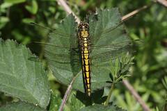 Black-tailed Skimmer (Chris B@rlow) Tags: macro nature outdoors dragonflies dragonfly unitedkingdom wildlife insects lancashire macros skimmer rspb leightonmoss blacktailedskimmer orthetrumcancellatum ordonata