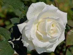 white rose (disdada) Tags: waterdrops