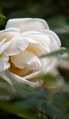 Delicate. (nooragraphs) Tags: flower nature beautiful rose finland helsinki wildrose delicate lauttasaari