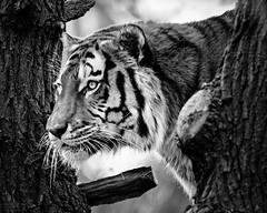 Tiger (chmeermann | www.chm-photography.com) Tags: portrait bw monochrome tiere blackwhite nikon tiger portrt sw tamron lightroom schwarzweis raubkatzen querformat landscapeformat d7100 saugetiere vscofilm agfascala200contrast 150600mmf5063