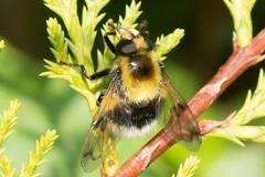 Hoverfly- Volucella bombylans (linanjohn) Tags: uk macro nature wildlife lakedistrict insects cumbria syrphidae diptera borrowdale hoverflies eristalinae volucellabombylans