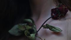 177/366: rose II (Andrea  Alonso) Tags: selfportrait flower me rose poetry rosa pale bones bone poesia 365 huesos autorretrato ros palido 366