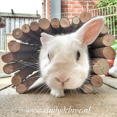 Matzi (cindydebree.nl) Tags: vegetarian6 sweet animal dier apple iphone6plus iphone lief cute funny funnybunny prettybunny pet huisdier rabbit konijn bunny