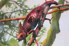 Chameleon (Raymond.Li) Tags: toronto zoo animal chameleon