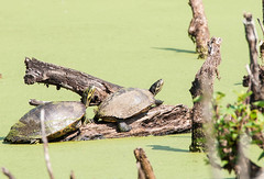 Painted Turtles (rpennington9) Tags: turtles reptiles nikon nikond90 chattanooga tennessee chattanoogariverpark tennesseeriverpark swamps marshes sigma150600mmlens