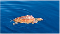 Juvenile Loggerhead Turtle (Caretta caretta) (Palmius Photo) Tags: carettacaretta juvenileloggerheadturtle turtle skldpadda northafricacoast morocco offshore