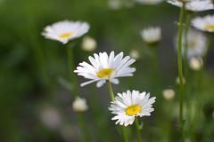 DSC_0033 (Amelia Cacchione) Tags: adirondacks mountains lake flowers daisys adirondack upstate ny new york indian
