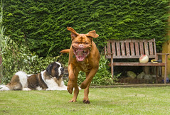 Bennie's Coming At Yah! (Kev Gregory (General)) Tags: benson bennie kev gregory dog dogue de bordeaux french mastiff saint bernard st chase run ugly mad teeth drool hideous garden pet play face lips grin hair hairy brown golden large teetch canine tongue
