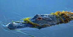 Alligator in Camo: Beware (Stan in FL) Tags: world usa nature unitedstates florida beware alligator disney american fl