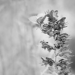 Petit argus. (steph20_2) Tags: bw white black macro monochrome closeup butterfly insect square lumix noir noiretblanc ngc panasonic papillon monochrom tamron blanc insecte carr m43 gh3 sp90 52bb skanchelli