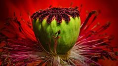 Poppy (ellen-ow) Tags: flower rot natur blumen poppy grn makro blten mohnblume nikond7000 ellenow