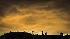 Atardecer volcnico (Tito Paez - Paisaje y Naturaleza) Tags: sunset shadow sky patagonia naturaleza tree texture textura nature argentina silhouette rock forest canon landscape arbol outdoors atardecer fire volcano hill sombra paisaje bosque ash pluma geology silueta araucaria fuego colina montaa drama volcanic eruption ceniza roca goldenhour plume araucariaaraucana neuqun volcn mountai clud araucariaceae pehun volcanica copahue canonef24105mmf4lisusm erupcin caviahue geologa pinales horadorada canoneos6d