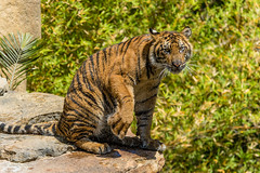 Suka (ToddLahman) Tags: baby water cat canon pond teddy tiger tigers sumatrantiger joanne suka safaripark escondido canon100400 tigercub babytiger dripdry tigertrail sandiegozoosafaripark babysumatrantiger canon7dmkii babysuka