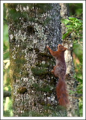 un petit visiteur en attendant (guiguid45) Tags: nature nikon squirrel animaux fort sauvage loiret mammifres 500mmf4 cureuilroux eurasianredsquirrel d810 fortdorlans