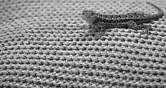 Lizard (Robert Borden) Tags: california blackandwhite bw texture monochrome outside outdoors lizard santaclarita