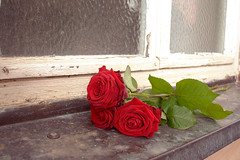 Lost Love (DanielHiller) Tags: rose rosen roses blumen flowers natur nature fenster window blten bltter fenstersims rot red grn green deutschland nikon d3100 gimp