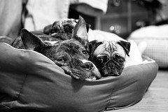 Dog Pile (Emily Kistler) Tags: dogpile dogs pets pet animal bw blackandwhite nikon d750 clearwater florida bedtime dexter kallie bugsy pug bokeh petphotography adopted rescue