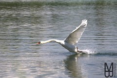 Beim Spaziergang gestern Nachmittag konnte ich dieses Bild einfangen. While walking yesterday afternoon I was able to capture this picture. (mb.photography.thueringen) Tags: camera sea nature water canon germany deutschland eos thringen swan wasser natur thuringia dslr teich schwan mhlhausen followme likeme iphoneography uploaded:by=instagram eos750d
