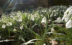 Snowdrops amongst the gravestones (donachadhu) Tags: flowers snowdrops sonydslra700 churchyard cadder