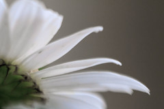 100X 2016 - 47/100 - Photos with the Lensbaby (norasphotos4u) Tags: white macro colors lensbaby flowersplants canon7d image47100 noraleonard 100xthe2016edition 100x2016