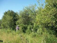 Sort Of... (geevee41) Tags: summer grass bush pasture prairies shrubbery pickingberries