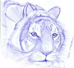 tiger (ivanutrera) Tags: wild animal pen sketch drawing wildlife sketching draw dibujo lapicero boligrafo dibujoalapicero dibujoenboligrafo drawballpointpen