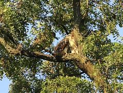 Three fledglings on the same branch (Goggla) Tags: nyc new york manhattan east village tompkins square park urban wildlife bird raptor red tail hawk fledgling juvenile goglog