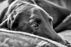 Chocolate Labrador - Buddy (rob.holtz) Tags: chocolatelabrador