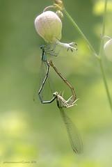 Platycnemis pennipes - Pallas 1771 - mating (fabrizio daminelli ) Tags: wild macro nature canon insect dragonflies dragonfly wildlife natura mating tamron damselfly insetto damselflies odonata zygoptera whiteleggeddamselfly damigella platycnemispennipes zigottero bluefeatherleg fabriziodaminelli pallas1771 zampalargacomune