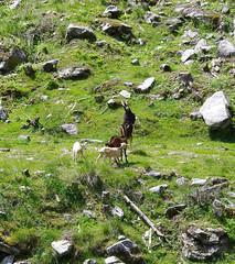 Springbock (brunoremix) Tags: sterreich alpen hohe pinzgau tauern bramberg kitzbheler