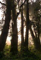 Trees in Fog on San Bruno Mountains (L4matman) Tags: trees sanbrunomountains dalycity brisbane california fog treesinfog oldgrowth oldgrowthtrees californiaparks
