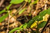 PGC_8404-20151013 (C&P_Pics) Tags: butterfly southafrica lodge za scenes limpopo pgc insectsandspiders tzaneen southafrica2015 bramasolelodge mtsheiba
