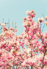 more magnolias against the sky (Shandi-lee) Tags: lighting pink flowers blue light summer sky white flower green love nature floral beautiful beauty vertical contrast petals spring natural blossom pastel branches curves blossoms may cyan petal bloom magnolia whit springflowers magnolias 50mmf14 magnoliatree toning pasteltones beautifulflowers naturallighting floweringtree softtones summerflowers canoneos7d