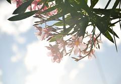 357/365 '' () Tags: flowers blue plant clouds stem bokeh sunny bluesky pinkflowers bokehlicious