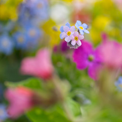 Spring colours (photoart33) Tags: flowers macro floral square spring soft softfocus dreamy myosotis forgetmenots persephonesgarden