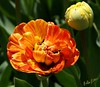Me And My Bud (alanj2007) Tags: ny newyork flower canon tulip albany upstatenewyork washingtonpark 5dmarkiii mygearandme 100mmmacrof28lisusm rememberthatmomentlevel1 flowerthequietbeauty