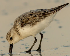 Sanderling (Rick Smotherman) Tags: ocean beach gulfofmexico nature birds canon outdoors morninglight spring florida may 7d destin runningwater canon300mmf4l canon7d