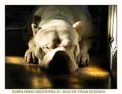 Pampa dogo argentino 33 - Diaz de vivar gustavo (Diaz De Vivar Gustavo) Tags: parque red espaa dog man black tree art love blanco luz argentina look animal cane america photoshop garden puppy de amigo luces la friend eva flickr martin photos earth amor profile el gustavo vida fotos poppy di estacion canino otoo invierno alegria forever postal portfolio mundial rodrigo dormir imagenes mundo chiot estacin pampa elcid descanso blancos cucciolo campeon diaz cid dogo amanece ranelagh hajduk dormido argentino ecologico argentinos dogos otoal ecologica supershot vivar caraceristicas ehpampa