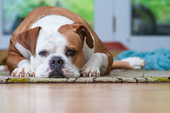 My American Bulldog (:GRJohnson:) Tags: portrait dog pet home animal explore lowangle americanbulldog 2013 flickrchallengegroup flickrchallengewinner grjohnson