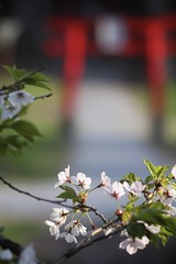 Path to Japan (jasohill) Tags: plants nature japan cherry spring shrine blossoms foliage iwate     matsuo hachimantai 2013