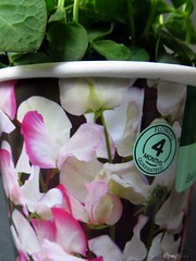 Sweet pea pot (Pat's_photos) Tags: pink plant container sweetpea seedling 365d
