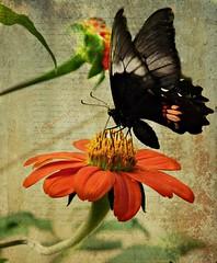 Butterfly  on Mexican Sunflower (Tithonia Rotundifolia) (silwittmann) Tags: brazil orange black flower macro texture textura sc nature brasil butterfly garden natureza flor borboleta blumenau