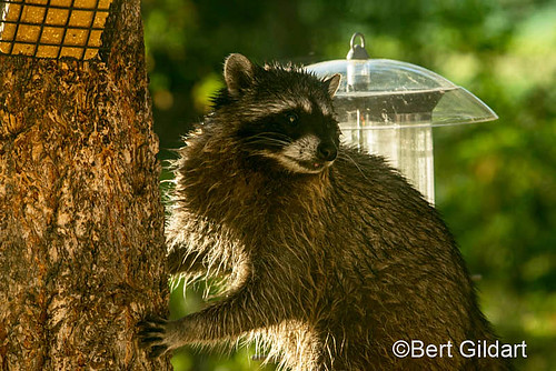 racoon (10 of 1)
