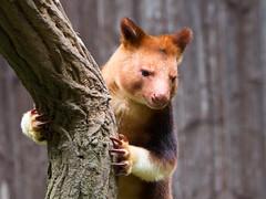 Goodfellow's tree kangaroo (John van Beers) Tags: germany zoo kangaroo krefeld dierentuin treekangaroo northrhinewestphalia kangoeroe krefeldzoo boomkangeroe goodfellowstreekangaroo goodfellowboomkangeroe